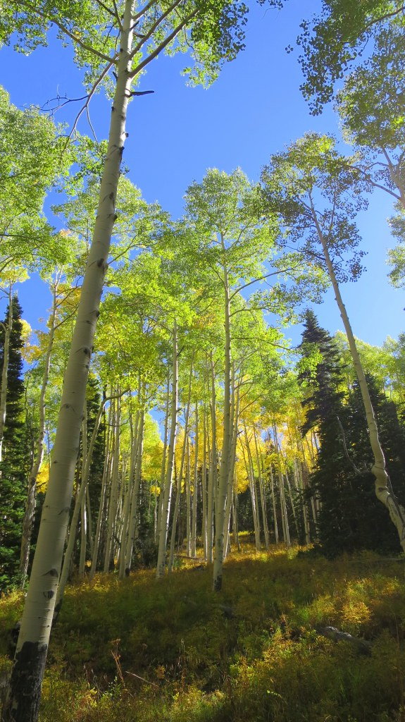 Yellowing aspens on the Rattlesnake Trail, Ashdown Gorge Wilderness, Dixie National Forest, Utah