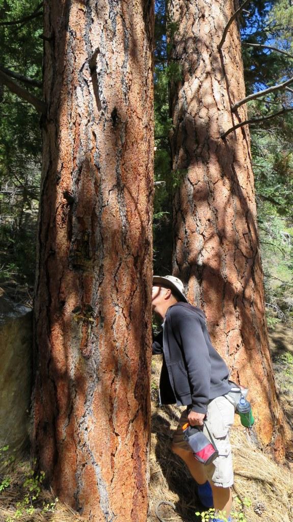 Sniffing enormous ponderosa pines, Rattlesnake Trail, Ashdown Gorge Wilderness, Dixie National Forest, Utah