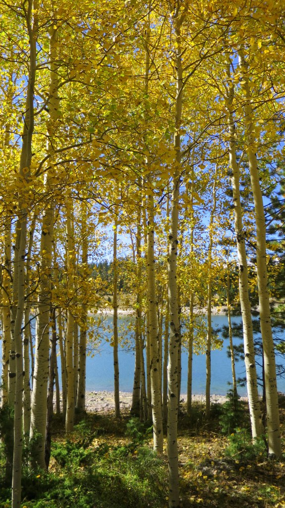 Walking through the yellow aspens at Yankee Meadows Reservoir, Dixie National Forest, Utah
