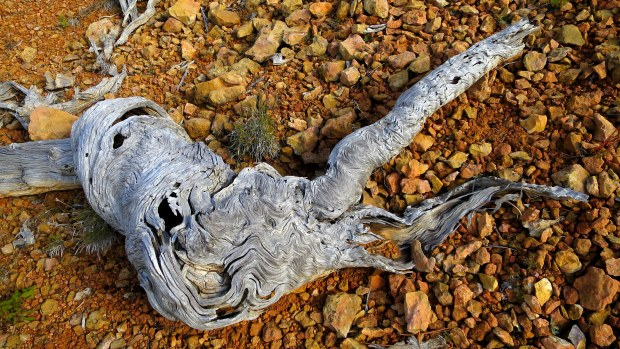 Dead bristlecone pine, Castle Bridge Trail, Red Canyon, Dixie National Forest, Utah