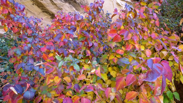 Beautiful but evil: More posion ivy, Upper Calf Creek Falls Trail, Grand Staircase-Escalante National Monument, Utah