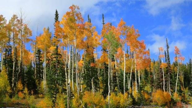 Aspens on the west side of Brian Head Peak, Utah