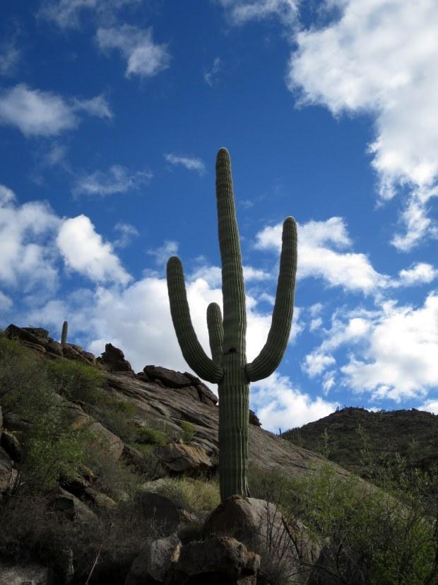 Saguaro, Tortolita Mountain Park, Arizona