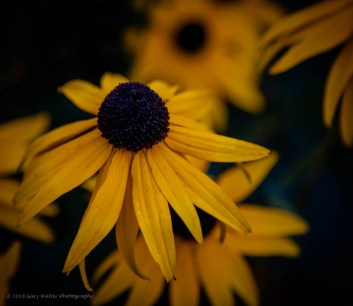 Blackeyed Susan - thank you Gary Walter Photography!