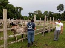 Adaf trabalha no controle de morcegos hematófagos em zona rural de Manaus