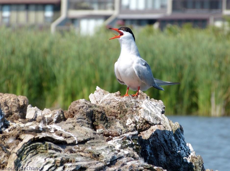 Common Tern, Bowmanville Marsh