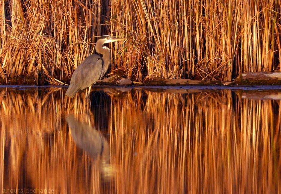 Great Blue Heron, Bowmanville Marsh
