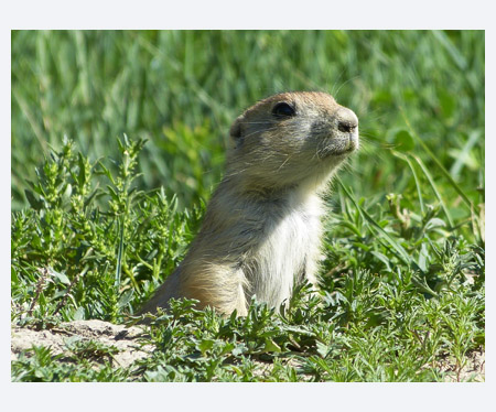 Prairie dog in Theodore Roosevelt National Park