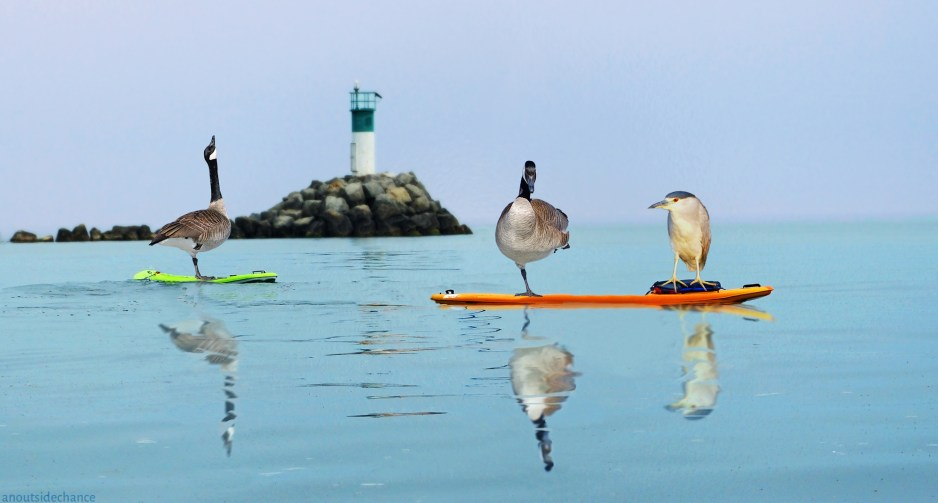 Canada Geese and Night Heron on paddle board.