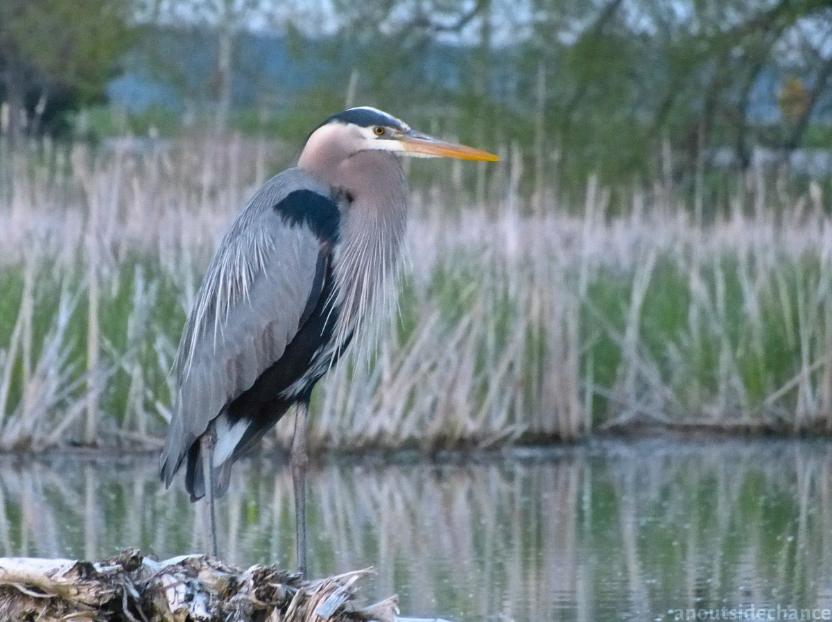 Great Blue Heron in Bowmanville Marsh