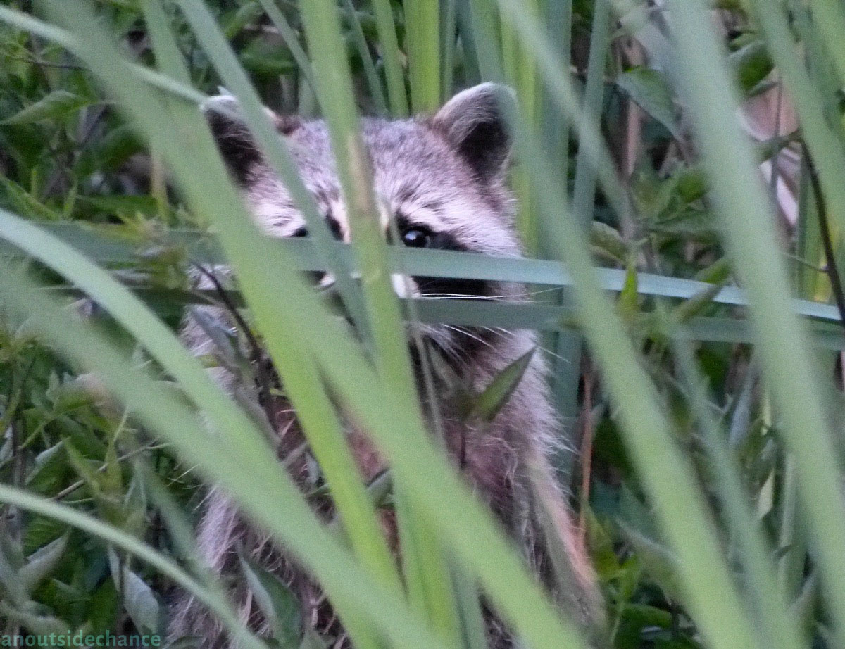 Raccoon in Bowmanville Marsh