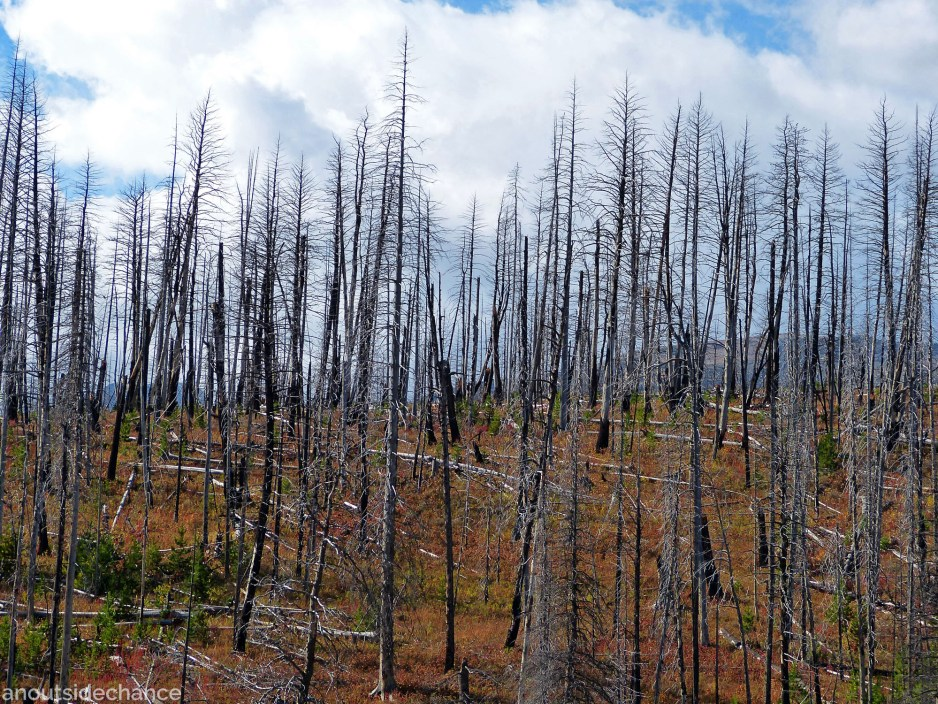 Pine trees hit by mountain pine beetle infestation, Glacier National Park.