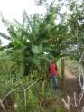 Bananeiras-do-Biodigestor