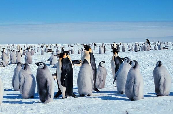Realizzato il primo censimento 'spaziale' dei pinguini imperatore (fonte: Michael Van Woert, NOAA NESDIS, ORA)