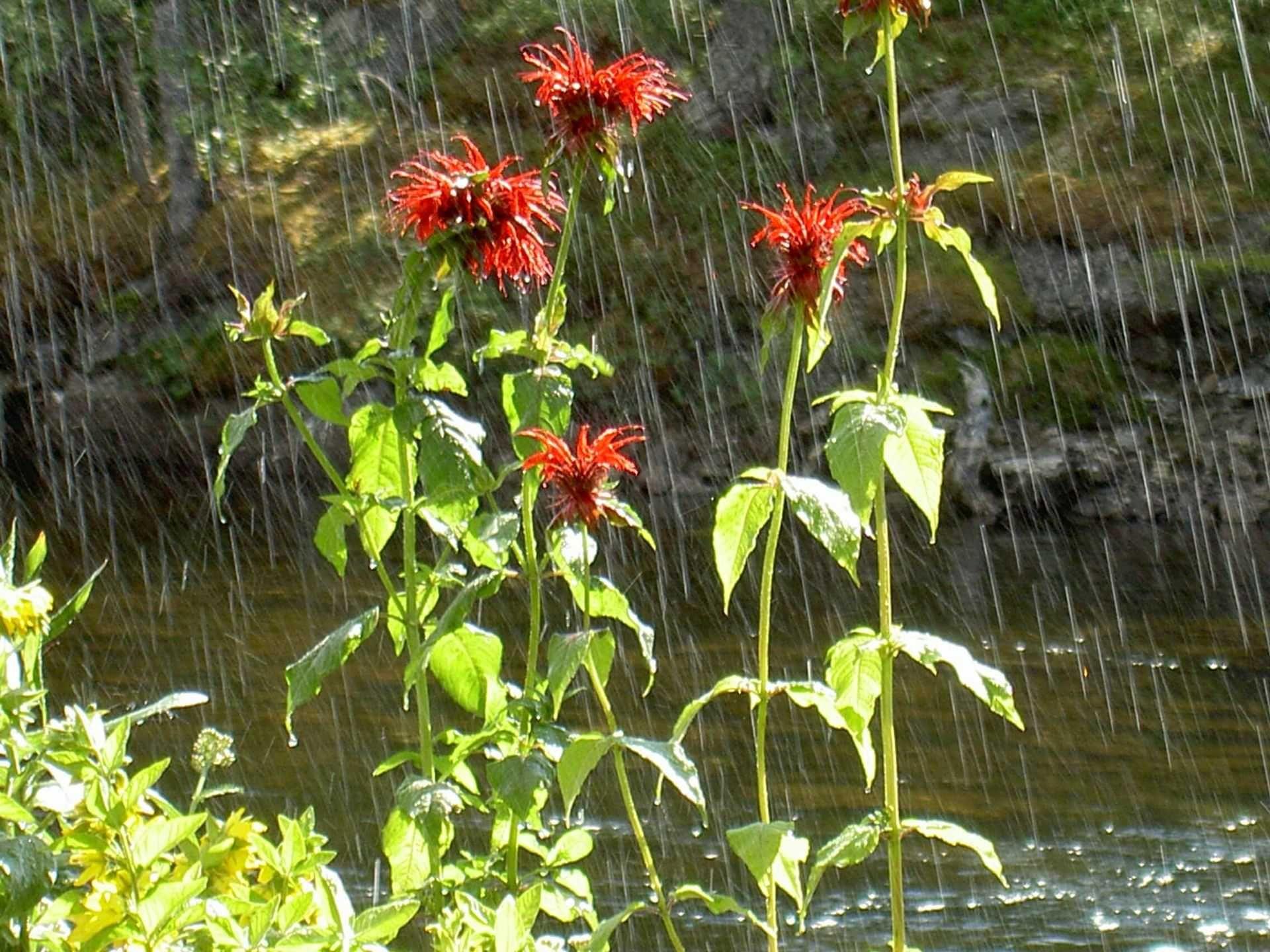 Stilla Dagar, glittrande sommarregn på blommorna vid ån i Rötviken. Foto © Maritha Grelsson