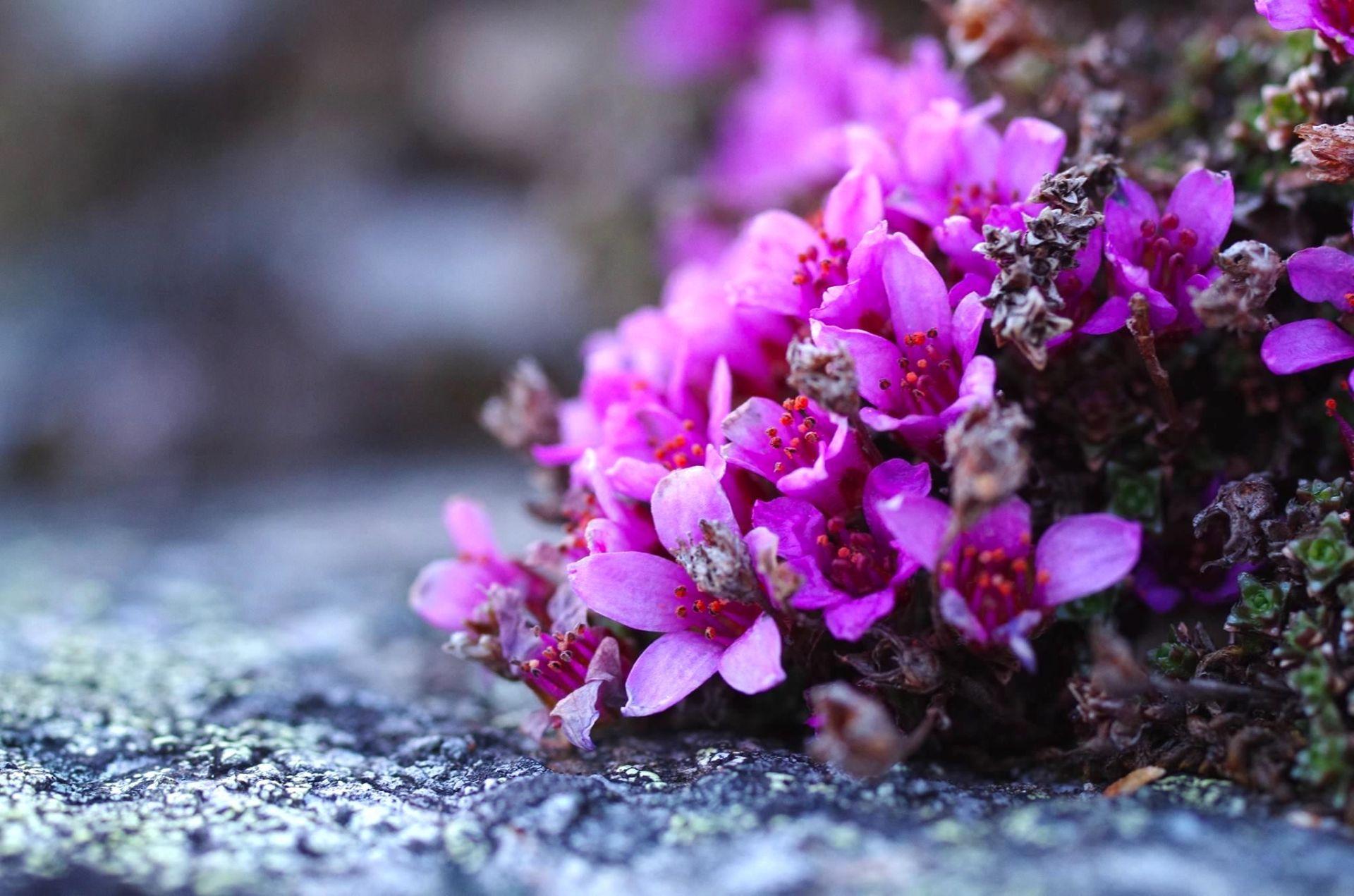 Purpurbräcka på Blomsterfjället Ansätten. Foto © Föreningen Blomsterleden.