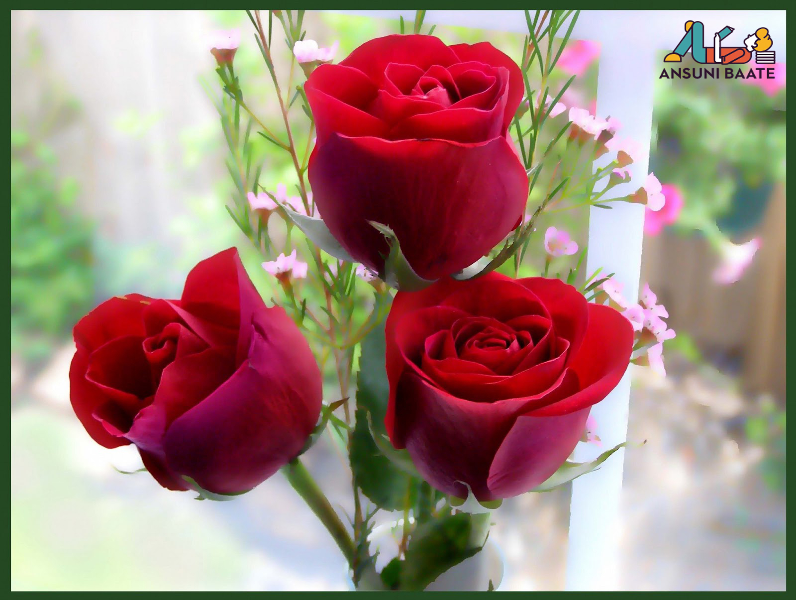 Red White Rose Flower Image Gallery Pictures Free Download