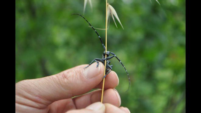 Karadeniz'de 'kahverengi kokarca' böceği tehlikesi