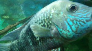 Ciklet Balıkları  - Akvaryum Balıkarı - Akvaryum İzle