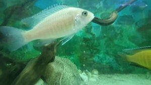 Ciklet Balıkları Akvaryum Seyret - Akvaryum Balıkları