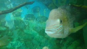 Akvaryum Balıkları - Akvaryum İzle - Ciklet Balıkları