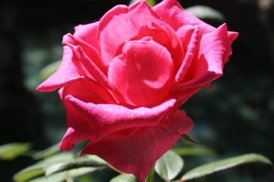 cicek fotograflari cicekler ucretsiz fotograf free stock flower photos (1)