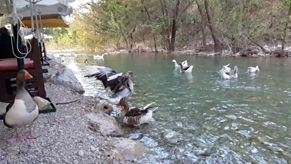 Ördeğin kanat çırpışı – Ağır Çekim