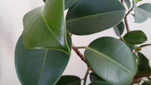 Saksıda kauçuk ağacı ve yeni yaprakları - Hobi bitkileri