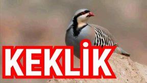 Keklik - Keklikler hakkında bilgi video açıklamasında
