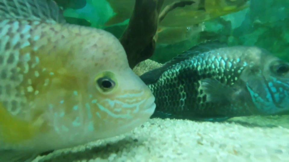 Cichlid Fishes – Akvaryum Seyret Ciklet Balıkları Akvaryumu Video