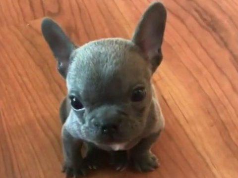 Pitbull Yavrusu - Sevimli Yavru Pitbull Köpeği
