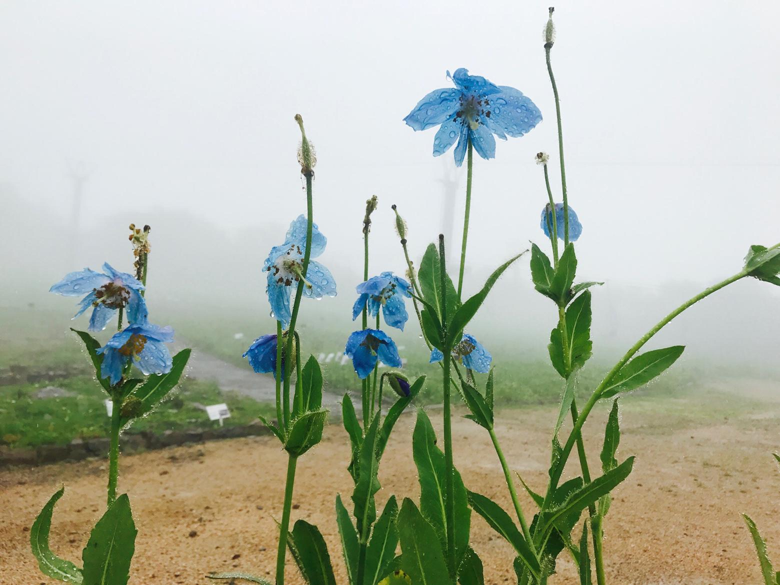 白馬五竜高山植物園は雨でもきれいです