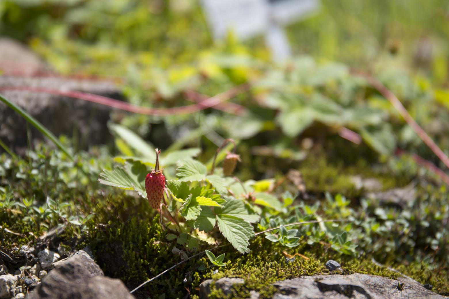 白馬五竜高山植物園のノウゴウイチゴ