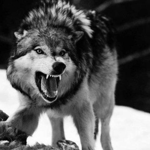 steppen_wolf