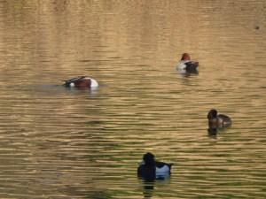 Enfield Ducks on Golden water