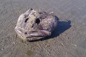 A dead fish-head... probably a grouper