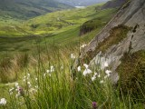 Cotton grass detail on Red Screes hillside just above Kirkstone Pass summit.