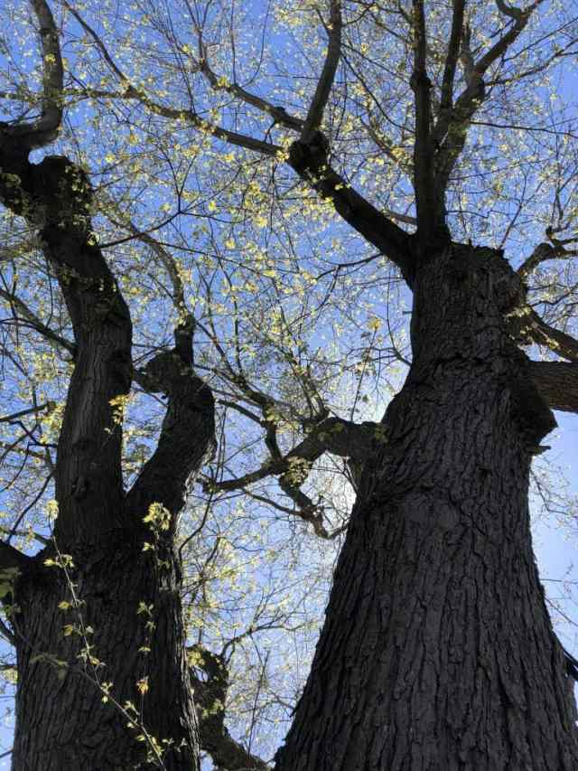 looking upwards at two trunks of an elm tree festooned with green buds, blue sky and sun shining behind the tree