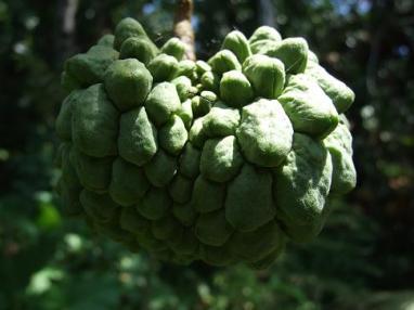 Anonaceae, Rollinia deliciosa