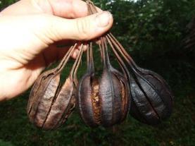 Aristolochia, Dutchman's pipe, seedpods