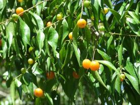 Myristicaceae spp. Unknown fruit