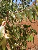 Khat branch