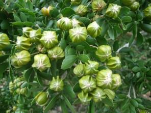 Guaiacum sanctum seed pods
