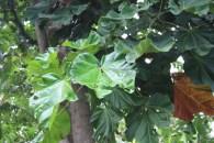 C. lizae, leaf