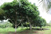 C. edule, trees