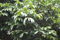 C. edule, canopy