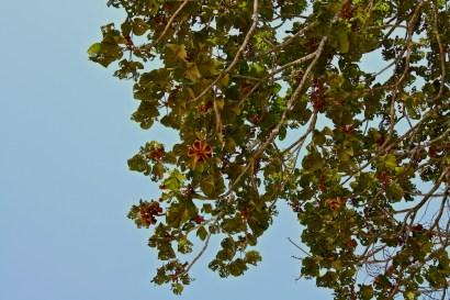 galeras panama tree