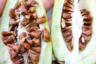 B. sanguinea seed