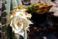 Echinopsis peruviana