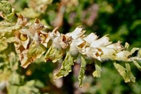 Hyoscyamus niger seedpod
